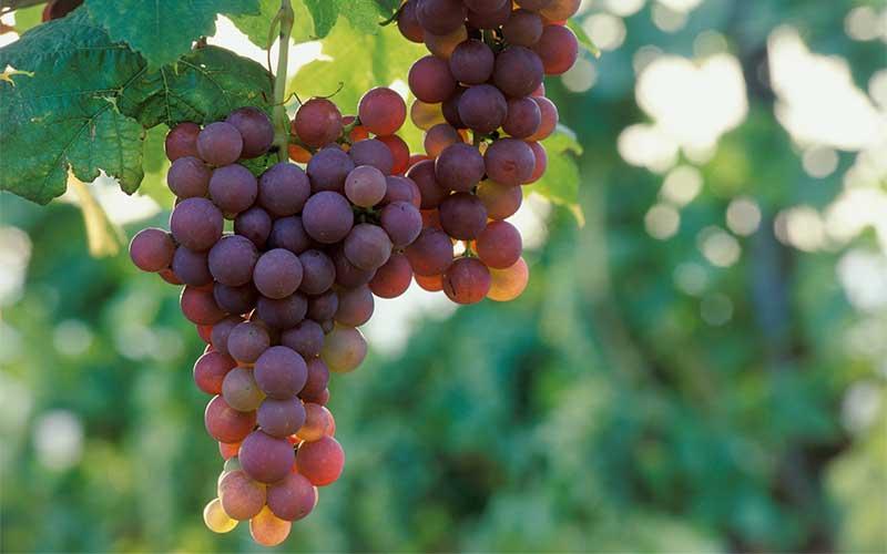 Weinbau im Schmidatal, Weinviertel