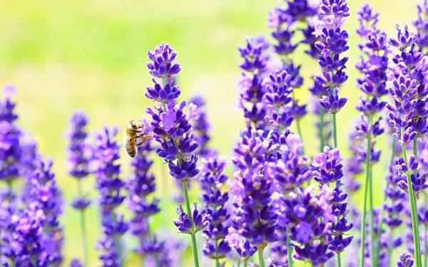 Ausflug für die Sinne - ein blühendes und duftendes Lavendelfeld im Schmidatal